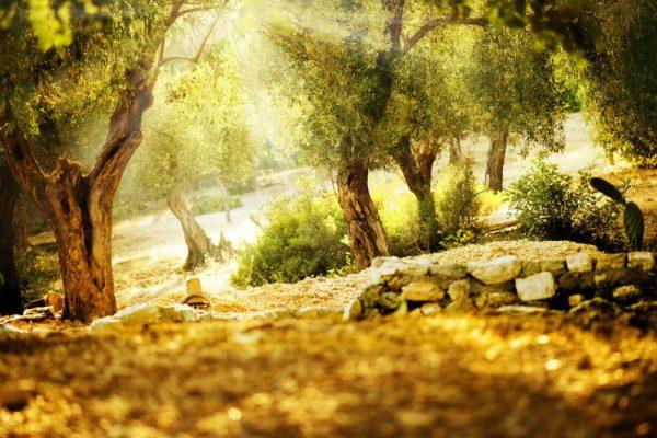 NORSAN - Biologisches Olivenöl als Antioxidans