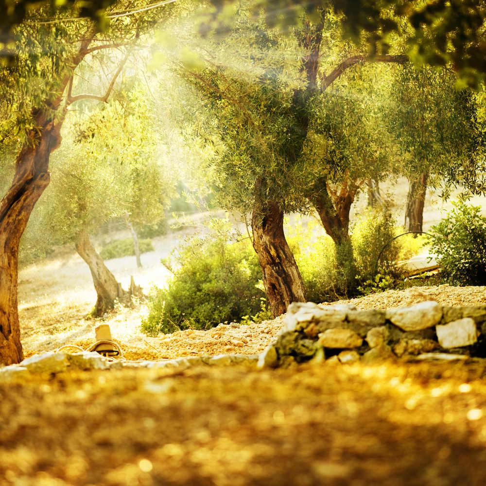 Rohstoffe: Biologisches Olivenöl von NORSAN